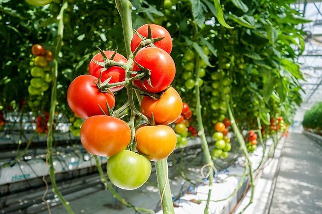 rajčata ve skleníku.jpg