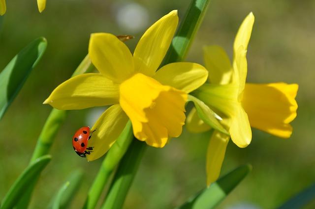 žluté narcisy